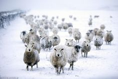 Sheep have begun to blend in with their surroundings in the Newby Head Pass in the Yorkshire Dales, pictured