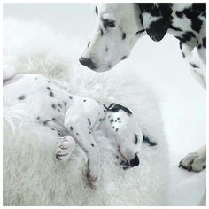 Dalmatine and puppy