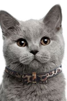 Buy Leopard Print Bow Tie Cat Collar from the Next UK online shop
