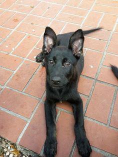 Found Dog - German Shepherd Dog - Homestead, FL, United States