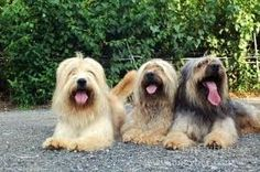 CachorrosBlogs.: Cachorros - Rhipicephalus Sanguineos.