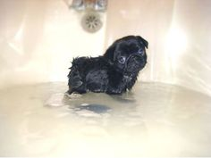 my voice cannot get high pitched enough to describe the cuteness of this baby black pug.
