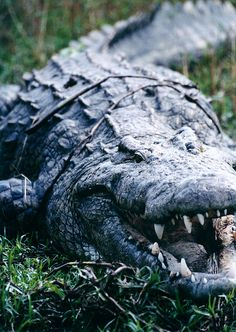 Crocodile, possibly the most perfect killing machine in the animal world.