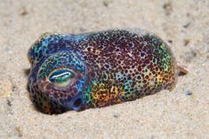 The Hawaiian Bobtail Squid. I love squid! Underwater Creatures, Ocean Creatures, Underwater World, Steampunk Animals, Water Life, Mundo Animal, Ocean Life, Deep Sea, Marine Life