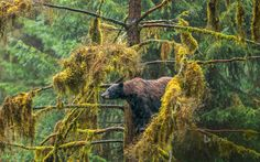 Black Bear in the Tongass National Forest of Alaska