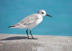 Sanderling Oistins Barbados