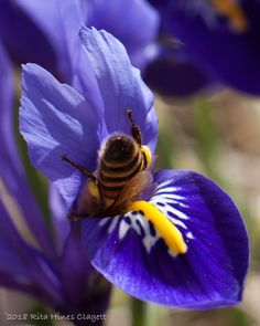 Bee in Iris reticulata Beautiful Creatures, Animals Beautiful, Cute Animals, I Love Bees, Bees And Wasps, Cute Bee, Beautiful Bugs, Bee Happy, All Gods Creatures