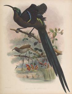 epimachus speciosus great sickle bill bird of paradise a monograph of the paradiseidae