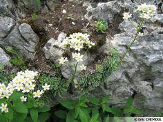 abelia grandiflora edouard goucher (abélie) feuillage persistant
