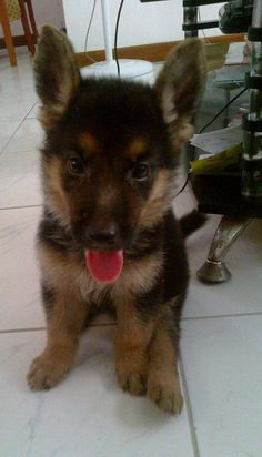 OMG!! I love this puppy breed so much!<3 I'm so getting a German Shepard!