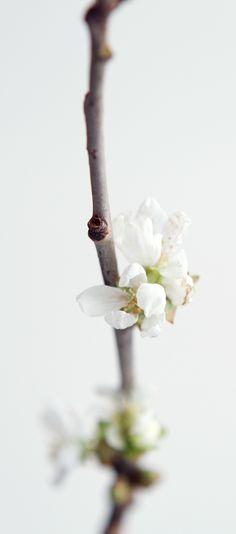 White Spring Blossom #TERRAINsignsofspring