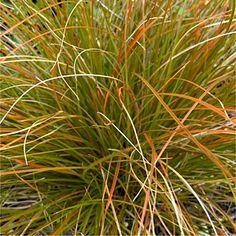 Carex testacea '- evergreen grass turning brozen in autumn