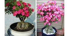#Nurserylive distributing #FreePlants on #EarthDay. Enter to win Adenium #PlantFree now