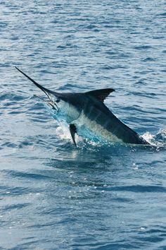 The Pacific shoreline, Tuna Coast, is home to tuna, marlin and mahi. Deep Sea Fishing, Gone Fishing, Fishing Photography, Underwater Photography, Marlin Fishing, Destin Fishing, Fishing Photos, Sport Fishing, Fishing Humor