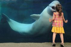 Venronica interacts with Juno the beluga whale.