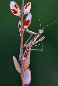 Praying Mantis Discover Can you hear me now? A praying mantis has only one ear located on the underside of its belly! Weird Insects, Cool Insects, Bugs And Insects, Mundo Animal, My Animal, Macro Photography, Animal Photography, Papillon Butterfly, Mantis Religiosa