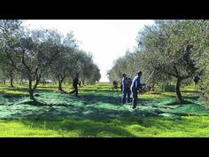 Discovering italy: Apulian extra virgin olive oil (part 2) #italy #oliveoil #food
