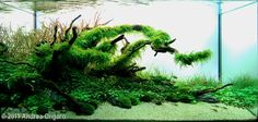 "2011 AGA Aquascaping Contest - Entry #246 - ""The shelter""  Andrea Ongaro, Brugnera Pordenone Italy"