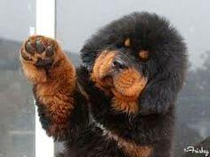 tibetan mastiff puppies - Google Search