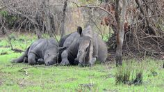 """Rhinos were distinct in Uganda during the """"politically instability"""", as the ranger stated it. With funds from overseas the breeding project started. Rhinos, Uganda, Ranger, Elephant, Animals, Animales, Animaux, Rhinoceros, Elephants"""