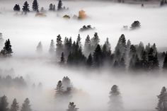 Surreal mist on the pines