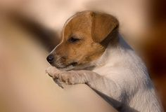 Jack Russell Puppy - they are absolutely irresistible!