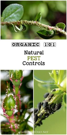34 common garden pest including aphids, cabbage worms, and weevils and their natural controls for organic gardeners.