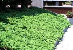 Juniper ground cover- great for a hill & good for erosion control.