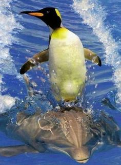 Oh nothing, just a penguin surfing on a dolphin