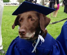Grad accepts diploma with cap-and-gown clad service dog