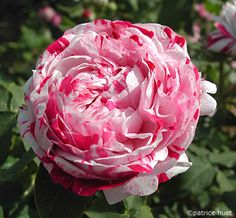 'Variegata di Bologna' - Bourbon rose Bred by Massimiliano Lido Italy prior to 1909. White with cherry stripes. Strong fragrance.