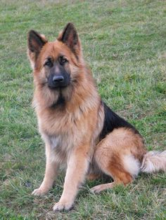 King Shepherd - The King Shepherd is an ARBA-recognized breed that closely resembles the German Shepherd Dog.