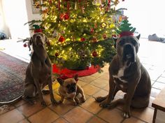 Our Cropped Cane Corso Protection Dogs and puppies for sale in UK are fully trained.This can be either as a family protection dog, personal or security dog. Puppies For Sale, Dogs And Puppies, Cane Corso For Sale, Cane Corso Dog, Roman, Germany, Spirit, Nice, Christmas