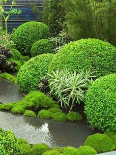 Topiary contrast. Pinned to Garden Design - Planting Schemes by BASK Landscape Design.