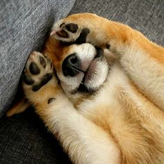 "Shiba Inu puppy say's ""Peek a boo"""