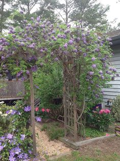 This Wisteria is about 4 yrs old and just loves the arbor my husband built. It really was just a small twig when we bought it. Wisteria and Clematis and Peonys