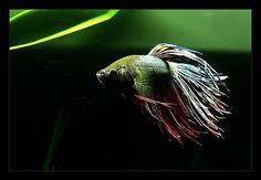 Betta Fish Tank, Aquariums, Pets, Animals, Tanked Aquariums, Animales, Animaux, Animal, Animais
