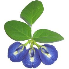 BlueChai flower and leaves Beyond The Border, Indoor Flowering Plants, Butterfly Pea Flower, How To Memorize Things, Things To Sell, Botanical Illustration, Planting Flowers, Plant Leaves, Organic