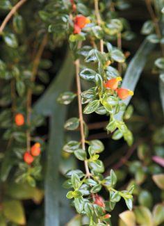 A peixinho (Nematanthus nervosus) é ideal para jardineiras suspensas, ao sol ou à meia-sombra.