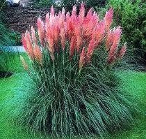 Japanese Ornamental Grasses | Grass, Japanese Forest Grass Pink Feathers 50 Seeds Ornamental Grass ...