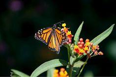 OKRoserock: Joy of the Monarch