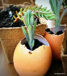 Lavender is easy to grow from cuttings in spring.