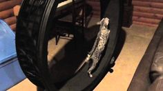 Bengal on One Fast Cat wheel