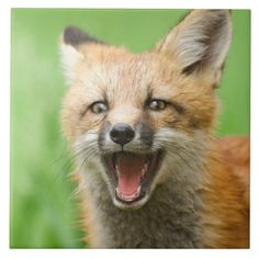 laughing fox - Google Search