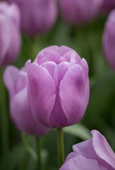 One Million Tulips Bulb Flowers, Large Flowers, Purple Flowers, Spring Flowers, Beautiful Flowers, Tulip Fields Netherlands, Flower Words, All Things Purple, Flower Pictures