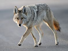New Jersey Hiker Climbs Tree to Escape Coyotes, Gets Stuck 5-Hours