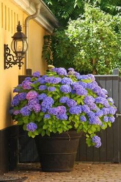 30 Ways to Grow Hydrangeas in Containers Scalable Style – 29 Ways to Grow Hydrangeas in Containers – Southernliving. Go big or go home. If you have space, an enormous pot of hydrangeas will take your style from simple to show-stopping. See the Pin Lawn And Garden, Garden Pots, Potted Garden, Sun Garden, Outdoor Plants, Outdoor Gardens, Small Gardens, Outdoor Flower Planters, Potted Plants Patio