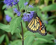 Monarch Butterfly on Caryopteris flowers