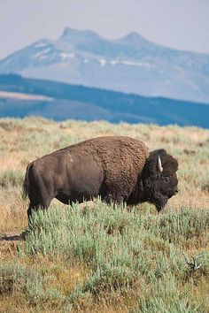 Lamar Valley, Yellowstone National Park. Wyoming