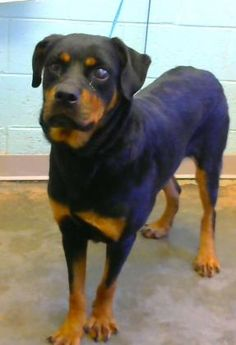 Vivi - URGENT - Dekalb County Animal Shelter in Decatur, Georgia - ADOPT OR FOSTER - 5 year old Female Rottweiler Mix